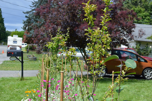 Grapes, berries and fruit trees in front yard