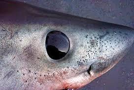 Mako Shark Close up showing Ampullae of Lorenzini