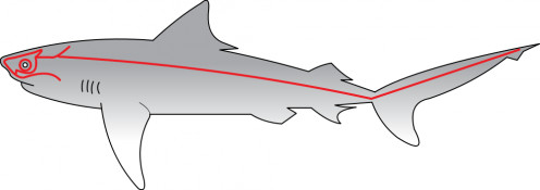 The Lateral Line on a shark.  The Lateral line is found on many different marine animals.