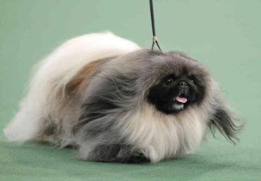 Pekingnese - the tribble of the dog world.