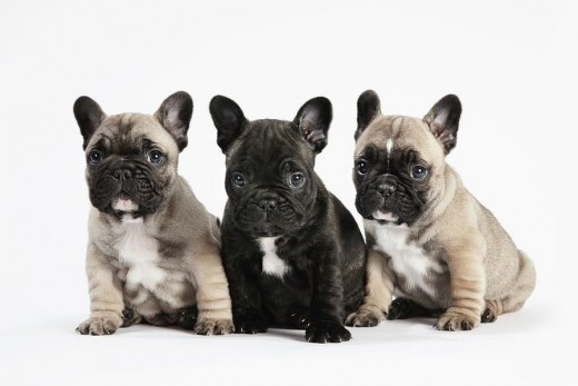 French Bulldogs are normally born via C-section today as the puppies heads are too big to fit safely through the birth canal.