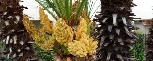 California Fan Palm Flower