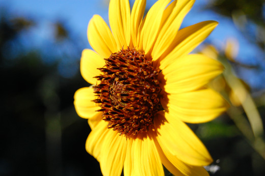 The sun sets in the west... this sunflower is catching the last rays of the day.