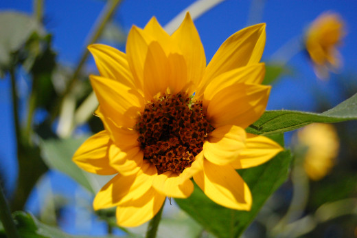 Sunflowers are not a single flower. They are dozens of flowers. This photo shows this. In the center you can see the individual flowers. Each of those flowers will bear a single achene or sunflower seed.