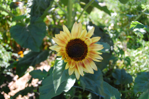 This sunflower is waiting for the sun... lurking in the shadows until it finds the sun.