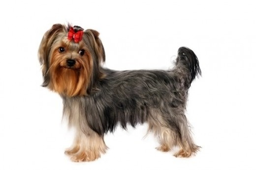 """The Yorkshire Terrier or """"Yorkie,"""" is one of the most popular small dog breeds in the world and for many good reasons!"""