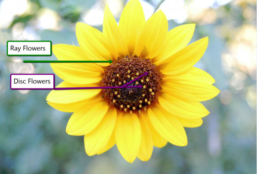 Flower Types on a sunflower