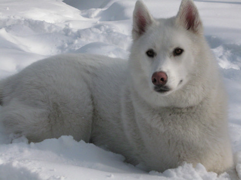 A White Siberian Husky, bred for sledding