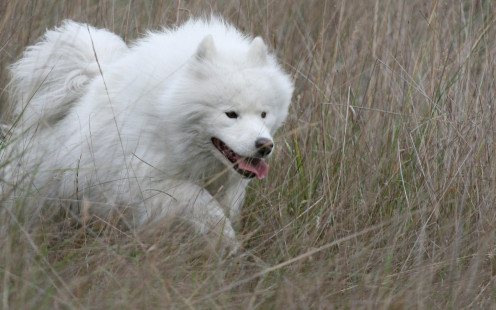 A white Samoyed