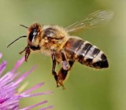 """1600 × 1067 Search by image """"If the bee disappeared off the face of the earth, man would only have four years left to live."""" – Albert Einstein. 30% Of What You Eat Is T"""