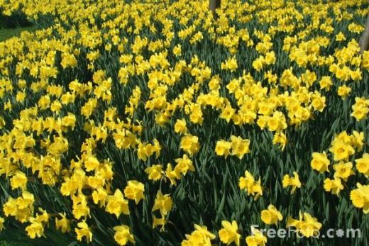 Daffodils courtesy of www.freefoto.com