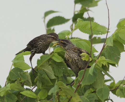 Mother Red-winged Blackbird Feeds Baby
