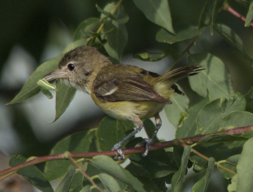 Bell's Vireo with Caterpillar