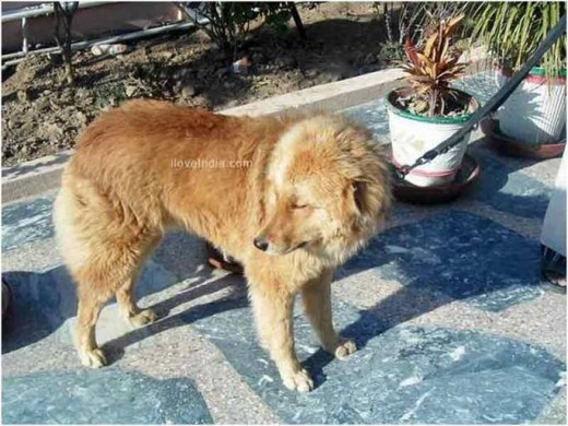 Bhakarawal Dog