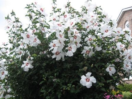 Rose of Sharon in my garden
