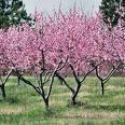 Peach trees in full bloom