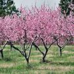 Peach trees in full bloom