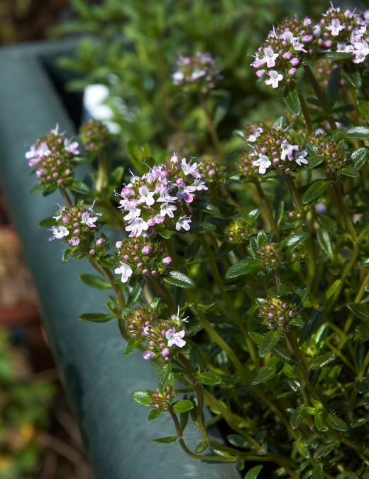 Winter Savory (Satureja montana)