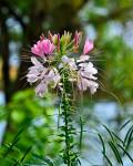 Cottage Garden Favorites: Cleome