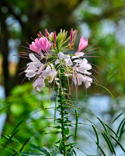 Cottage Garden Favorites: Cleome