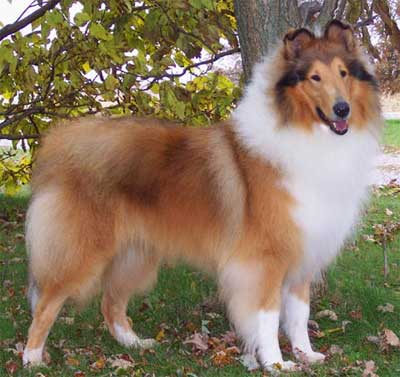 This is a great picture of the beautiful of the herding group the Collie.