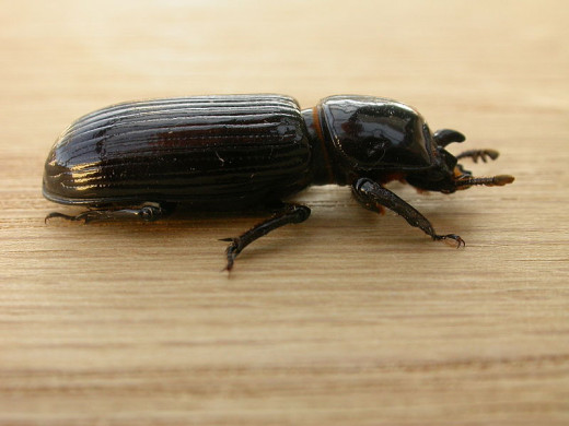 Beetles can be helpful creatures to have around the garden.
