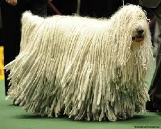 This is a Komondor one of the working group of dogs.