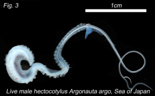 The free-swiming  detached arm carrying sperm.