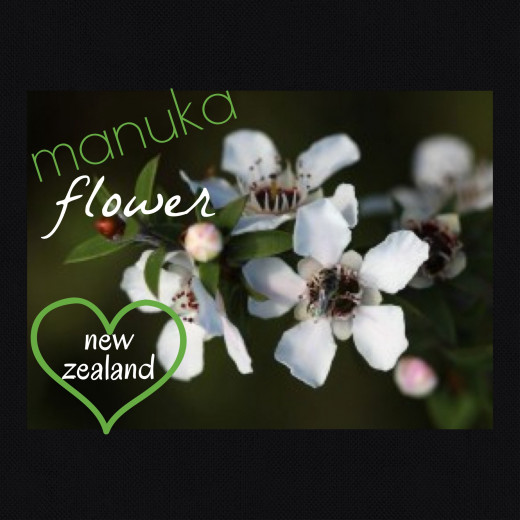 The manuka flower grows on the manuka tree, most commonly found in New Zealand. Bees love the nectar and in turn produce manuka honey.