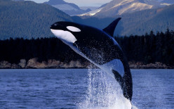 Marine Mammal Facts: Killer Whales
