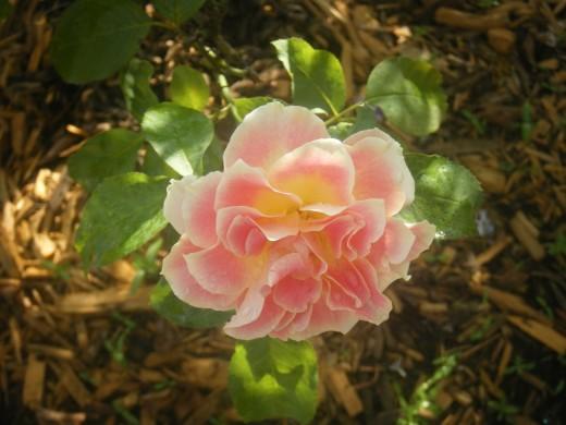A rose from the rose garden near Cinderella Castle