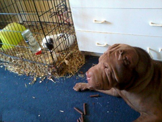 The Shar Pei meets George, my guinea pig.