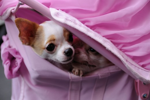 Toy breeds like Chihuahuas and Pekineses may have trouble with dry eye because of their protruding eyes.