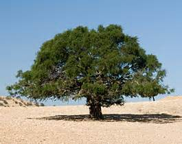 The Argan Tree in Morocco