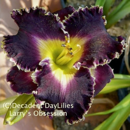 A Daylily called Larry's Obsession