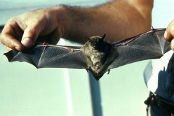 Helping Our Bats Means Less Insect Pests