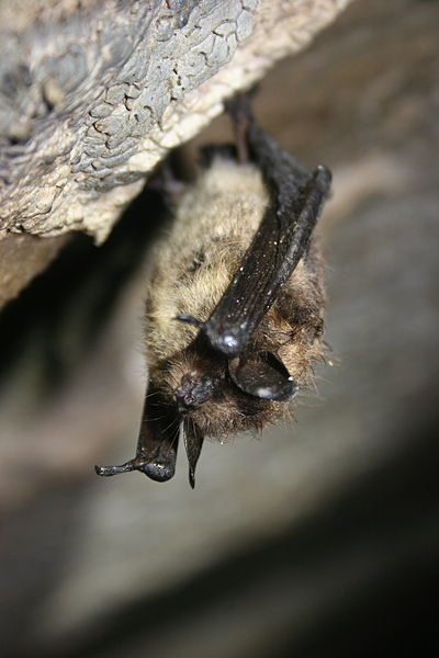 A Healthy Little Brown Bat