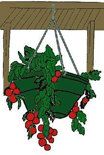 You can grow cherry tomatoes in hanging baskets and the tomatoes grown in them will do well.