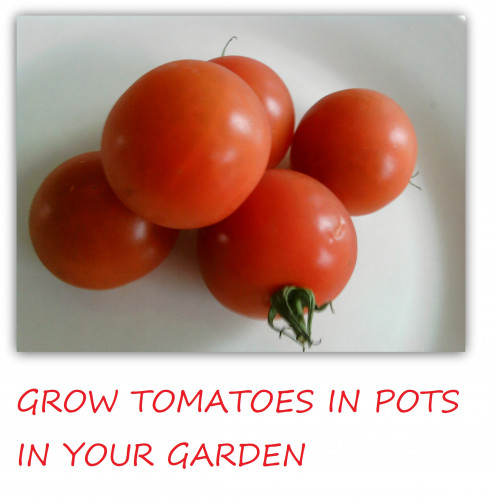 Tips on how to grow tomatoes in pots.