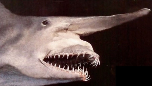 Notice the distinctive snout , protrusible jaw and teeth
