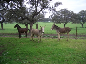 Both horses and mules were needed in the Oak Creek valley