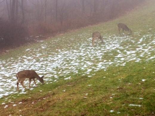Winter Deer in Connecticut