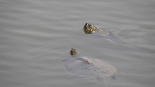 Turtles in Mills Pond
