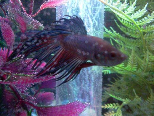 Betta fish food for Lifespan of a betta fish in captivity