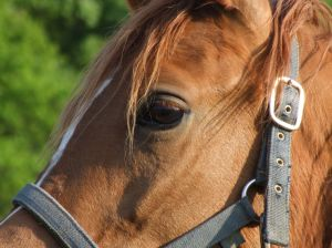 Horse in bridle