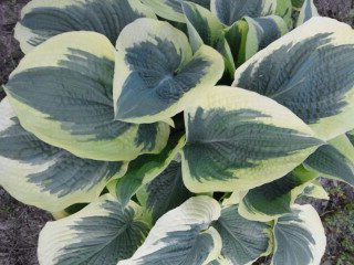 hosta Northern Exposure (Walters Gardens 1997)
