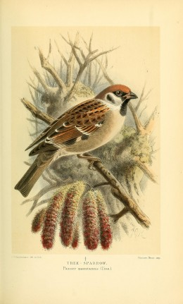 Coloured Figures of the Birds of Britain  Lord Lilford Courtesy of the BHL.