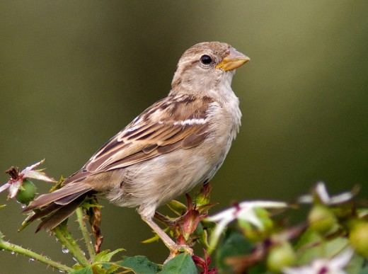 The female house sparrow differs from the male house sparrow in its plumage.The female Tree sparrow is similar in plumage to that of the male.