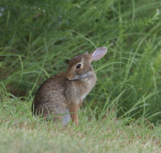 "Eastern Cottontail ""You Rang?"""