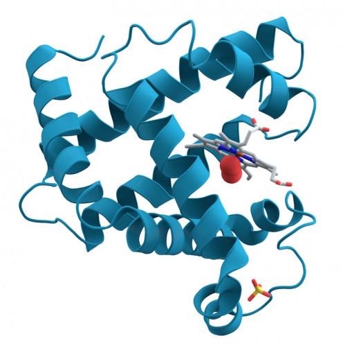 3D Representaion of myoglobin protein molecule.